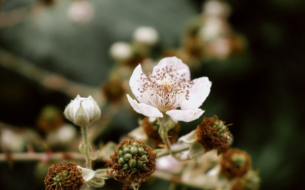 Close up of blackberry flower