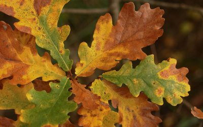 Close up of oak leaf