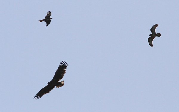 Eagle flying with Red Kite and Buzzard