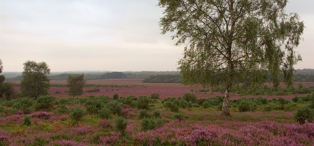 Heathland in the New Forest National Park