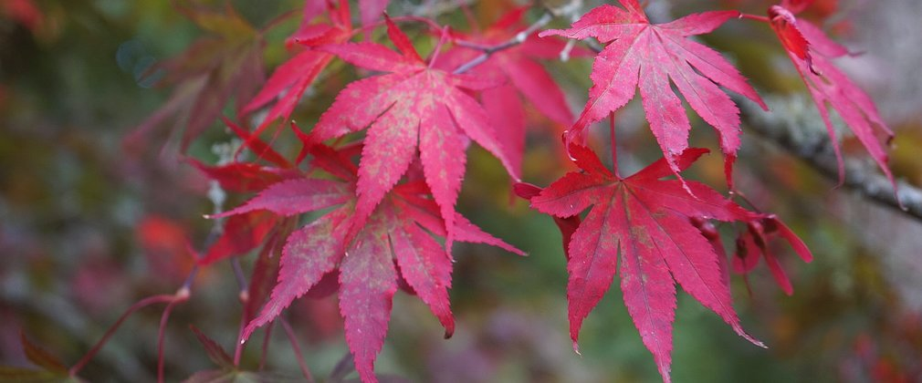 Red Acer leaves in autumn