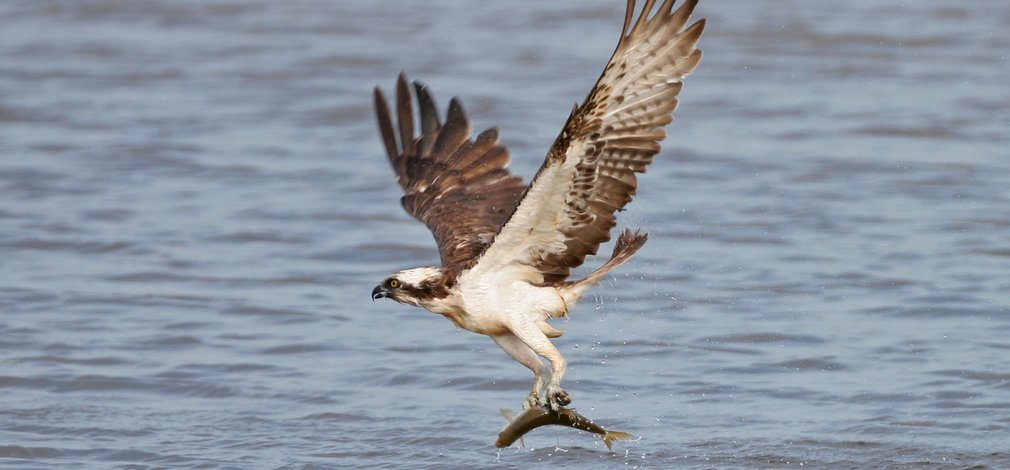 Osprey catching a fish