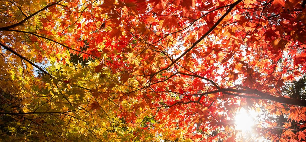 Autumn coloured canopy from below