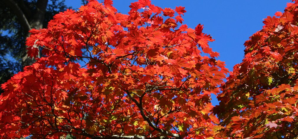 Autumn colour red westonbirt