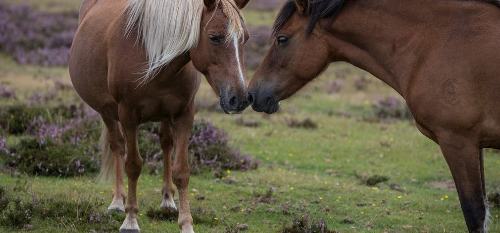 Two ponies New Forest