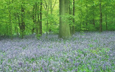 Bluebells flowering under beech and oak woodland