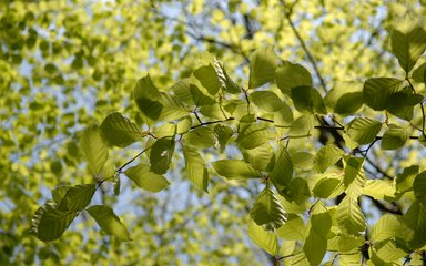 Beech tree leaves close up