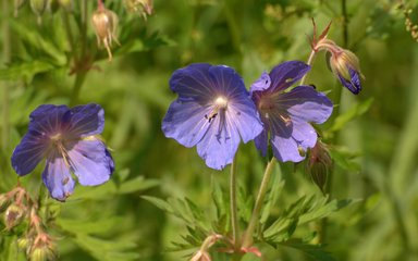Blue geranium genetic