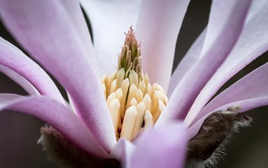 close up magnolia