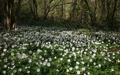 Wood anenome in coppice at Westonbirt Arboretum