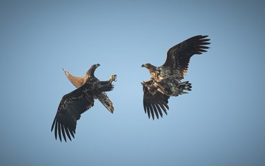 Two juvenile white-tailed eagles playing in the sky