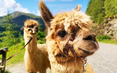 Alpacas looking majestic on sunny day in Whinlatter Forest
