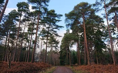 Bedgebury Forest - pines and trail
