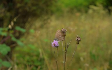 Bedgebury Pinetum Dallimore Valley summer butterfly grass sward knapweed