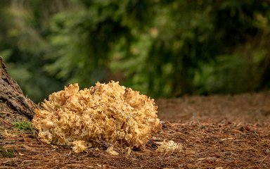 Bedgebury National Pinetum cauliflower fungus Sparassis crispa fungi autumn