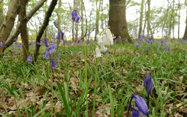 Close up of bluebells and snowdrops on forest floor