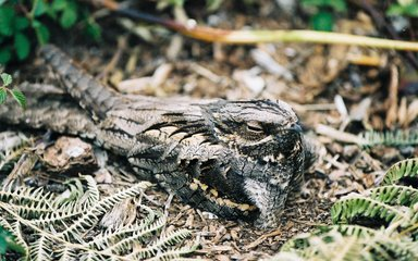 Nightjar ground nesting