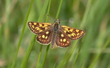 chequered skipper butterfly on a blade of grass