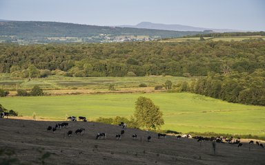 Countryside image with trees and cows