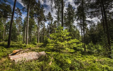 Conifer forest with looking up at the canopy with younger tree and small log pile