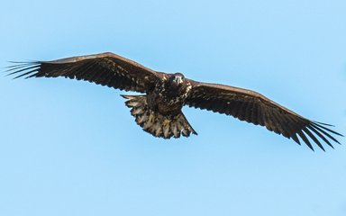 White-tailed eagle juvenile flying in a clear blue sky