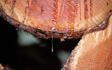 Tree sap dripping from a chopped down tree trunk