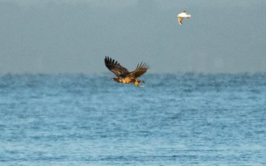 Eagle catching fish with gull in tow