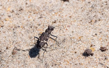 Heath tiger beetle