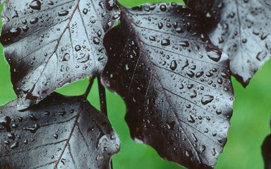 Raindrops on copper beech leaves