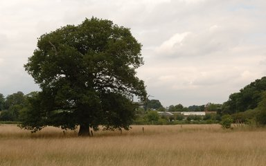 Large broadleaf tree in a field of long grass on cloudy day