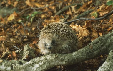 Hedgehog walking on forest floor