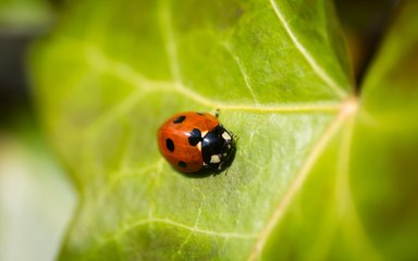 Ladybird on leaf
