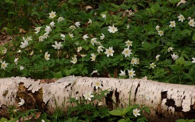 Log among flowers on forest floor
