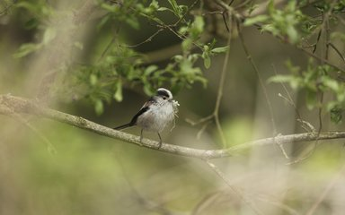 Long tailed tit bird