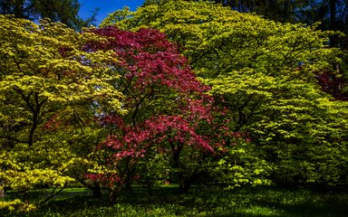 Maples at Westonbirt