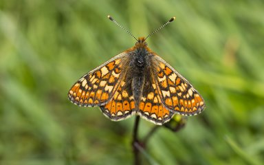 Marsh fritillary butterfly displaying wings with grass in the background