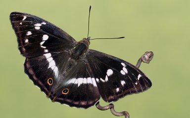Dark wings of female purple emperor butterfly