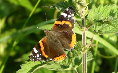 Red admiral butterfly with open wings