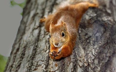 Red squirrel clinging to a branch