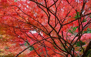 Red autumnal leaves in a tree