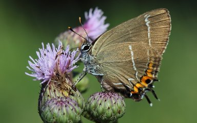 white-letter hairstreak butterfly on a thistle
