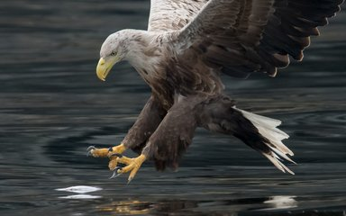 Close up of white-tailed Eagle over water