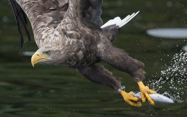 White-tailed eagle with fish in talons
