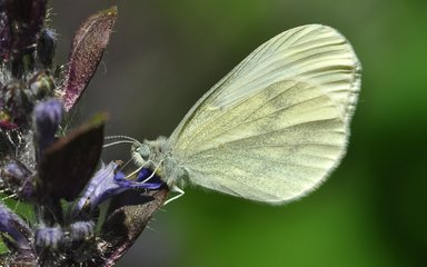 Wood white butterfly with closed wings viewed from the side