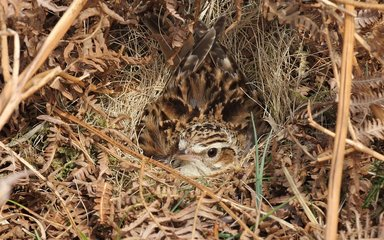 Woodlark sitting on a nest camouflaged in the undergrowth