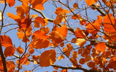 autumnal beech leaves against blue sky