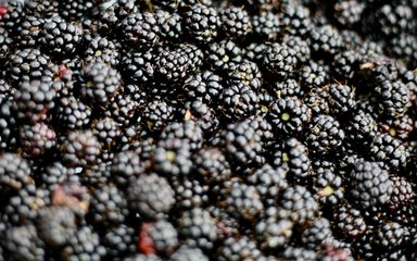 Pile of blackberries