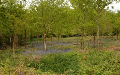 Bluebells under young trees