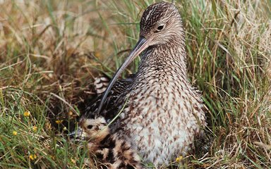 Curlew nesting in the grass with a chick