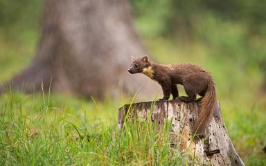 Pine marten standing on tree stump looking left